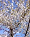 λευκό δέντρων κερασιών αν&th στοκ φωτογραφίες