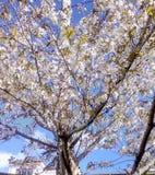 λευκό δέντρων κερασιών αν&th στοκ φωτογραφία με δικαίωμα ελεύθερης χρήσης