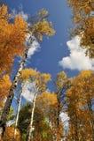 λευκό δέντρων μπλε ουραν& Στοκ Εικόνα