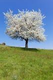λευκό δέντρων Στοκ Φωτογραφία
