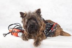 λευκό εργαλείων πορτρέτου σκυλιών Στοκ εικόνες με δικαίωμα ελεύθερης χρήσης