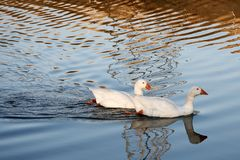 λευκό ζευγαριού παπιών Στοκ Εικόνα