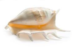 λευκό θαλασσινών κοχυλιών Στοκ Φωτογραφία