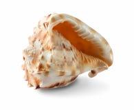 λευκό θαλασσινών κοχυ&lambd Στοκ Εικόνες