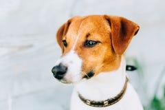 Λευκό και καφετί τεριέ του Jack Russell σκυλιών Τονισμένη στιγμιαία φωτογραφία Στοκ εικόνα με δικαίωμα ελεύθερης χρήσης