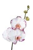 Λευκό και κόκκινο phalaenopsis ορχιδεών Στοκ φωτογραφίες με δικαίωμα ελεύθερης χρήσης