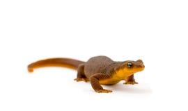 λευκό Καλιφόρνιας newt στοκ εικόνα με δικαίωμα ελεύθερης χρήσης
