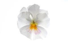 λευκό καρδιών ευκολίας στοκ εικόνες με δικαίωμα ελεύθερης χρήσης