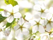 λευκό κερασιών ανθών Στοκ Φωτογραφία
