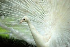 λευκό κινηματογραφήσεων σε πρώτο πλάνο peacock Στοκ φωτογραφία με δικαίωμα ελεύθερης χρήσης
