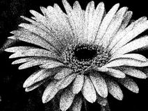 Λευκό κινηματογραφήσεων σε πρώτο πλάνο στο Μαύρο του πετάλου άνθισης ανθών λουλουδιών Gerber Daisy Στοκ Φωτογραφία