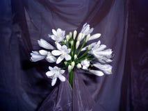 λευκό κομψότητας agapanthus Στοκ εικόνες με δικαίωμα ελεύθερης χρήσης