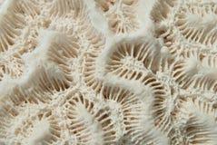 λευκό κοραλλιών εγκεφά& Στοκ φωτογραφίες με δικαίωμα ελεύθερης χρήσης