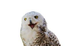 λευκό κουκουβαγιών Στοκ εικόνα με δικαίωμα ελεύθερης χρήσης