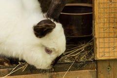 λευκό κουνελιών Κουνέλι στο αγροτικό κλουβί ή hutch Έννοια κουνελιών αναπαραγωγής Στοκ εικόνα με δικαίωμα ελεύθερης χρήσης