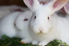 λευκό κουνελιών Στοκ εικόνα με δικαίωμα ελεύθερης χρήσης
