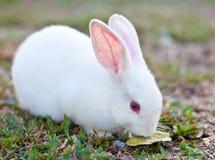 λευκό κουνελιών Στοκ Φωτογραφία