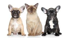 λευκό κουταβιών σκυλιών γατών ανασκόπησης Στοκ Φωτογραφίες