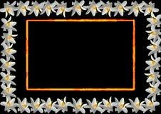 λευκό κρίνων πλαισίων Στοκ φωτογραφία με δικαίωμα ελεύθερης χρήσης
