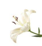 λευκό κρίνων τεμαχίων Στοκ εικόνες με δικαίωμα ελεύθερης χρήσης