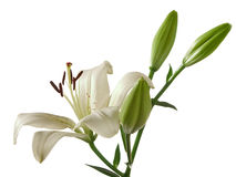 λευκό κρίνων Στοκ φωτογραφία με δικαίωμα ελεύθερης χρήσης