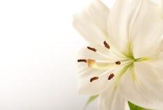 λευκό κρίνων Στοκ φωτογραφίες με δικαίωμα ελεύθερης χρήσης