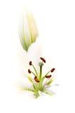 λευκό κρίνων Στοκ Εικόνα