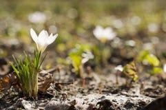 λευκό κρόκων στοκ φωτογραφίες