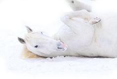 λευκό κυλίσματος αλόγ&omega Στοκ φωτογραφίες με δικαίωμα ελεύθερης χρήσης