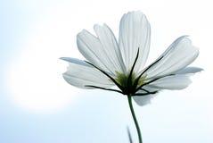 λευκό κόσμου bipinnatus Στοκ Φωτογραφίες