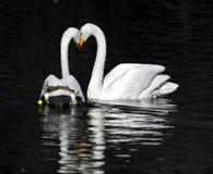 λευκό κύκνων ζευγών Στοκ εικόνα με δικαίωμα ελεύθερης χρήσης