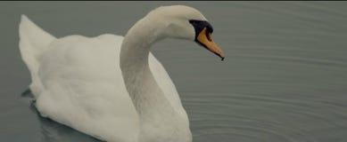Λευκό κύκνων λιμνών στοκ εικόνες με δικαίωμα ελεύθερης χρήσης
