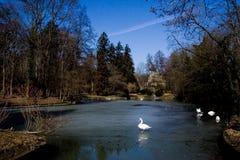λευκό κύκνων λιμνών Στοκ Φωτογραφία