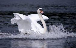 λευκό κύκνων προσγείωση&si Στοκ Φωτογραφία