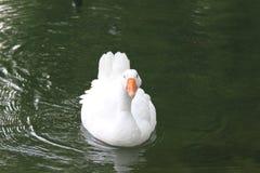 λευκό κύκνων Στοκ Εικόνες