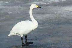 λευκό κύκνων Στοκ εικόνες με δικαίωμα ελεύθερης χρήσης