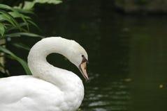 λευκό κύκνων Στοκ εικόνα με δικαίωμα ελεύθερης χρήσης