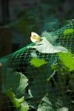 λευκό λάχανων πεταλούδω& Στοκ Εικόνες