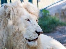 λευκό λιονταριών Στοκ Εικόνα