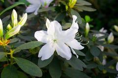 Λευκό λουλουδιών αζαλεών Στοκ εικόνα με δικαίωμα ελεύθερης χρήσης