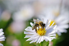 λευκό λουλουδιών μελ&io Στοκ εικόνα με δικαίωμα ελεύθερης χρήσης
