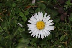 Λευκό λουλουδιών της Daisy στη χλόη στοκ εικόνα με δικαίωμα ελεύθερης χρήσης