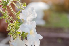 λευκό λουλουδιών Το λουλούδι αυξάνεται σε ένα δοχείο Το λευκό σαν το χιόνι λουλούδι έχει ανθίσει Στοκ φωτογραφίες με δικαίωμα ελεύθερης χρήσης