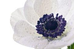 λευκό λουλουδιών anemone Στοκ Εικόνες