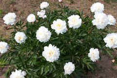 Λευκό λουλουδιών Peony Στοκ Φωτογραφίες