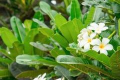 Λευκό λουλουδιών Plumeria - κίτρινο στα κοινά pocynaceae ονόματος δέντρων, Frangipani, δέντρο παγοδών, δέντρο ναών Στοκ Φωτογραφία