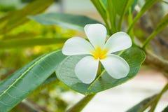Λευκό λουλουδιών Plumeria - κίτρινο στα κοινά pocynaceae ονόματος δέντρων, Frangipani, δέντρο παγοδών, δέντρο ναών Στοκ Φωτογραφίες