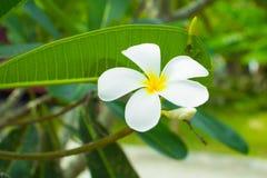 Λευκό λουλουδιών Plumeria - κίτρινο στα κοινά pocynaceae ονόματος δέντρων, Frangipani, δέντρο παγοδών, δέντρο ναών Στοκ φωτογραφίες με δικαίωμα ελεύθερης χρήσης