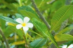 Λευκό λουλουδιών Plumeria - κίτρινο στα κοινά pocynaceae ονόματος δέντρων, Frangipani, δέντρο παγοδών, δέντρο ναών Στοκ Εικόνες