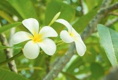 Λευκό λουλουδιών Plumeria - κίτρινο στα κοινά pocynaceae ονόματος δέντρων, Frangipani, δέντρο παγοδών, δέντρο ναών Στοκ Εικόνα